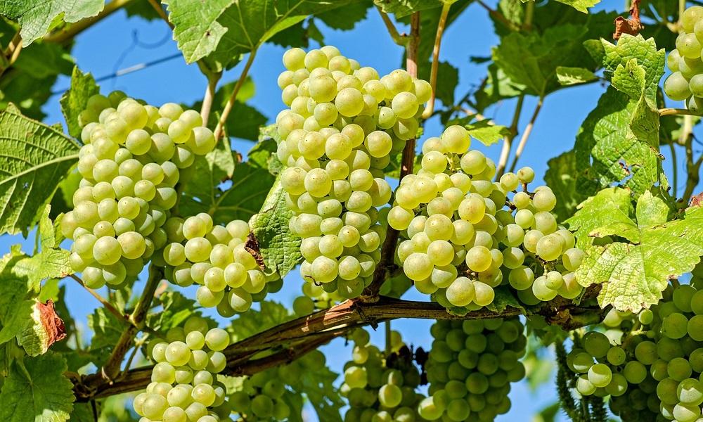 гроздето