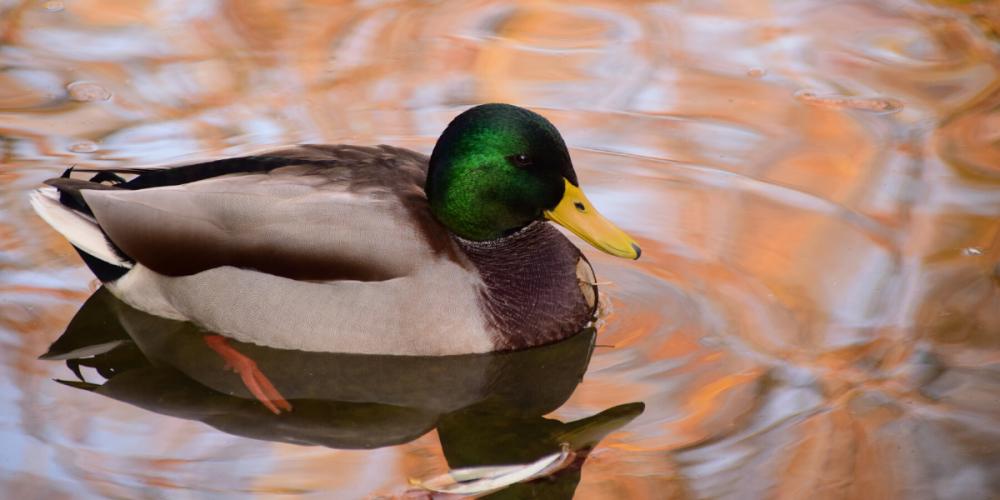 патицата